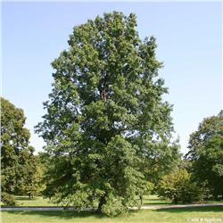 Pin Oak - Quercus palustris