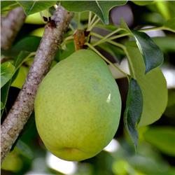 Bartlett Pear - Pyrus communis