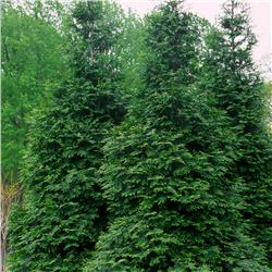 Green Giant Arborvitae evergreen