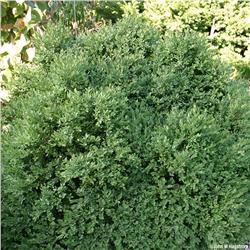 Green Velvet Boxwood evergreen