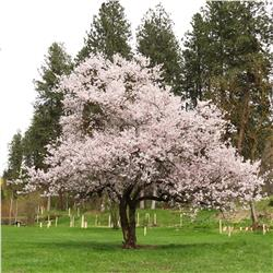 Autumn Flowering Higan Cherry Tree On The Tree Guide At Arborday Org