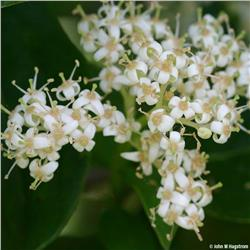 Gray Dogwood shrub - Cornus racemosa