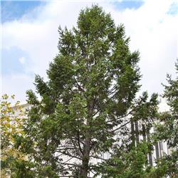 Douglasfir evergreen