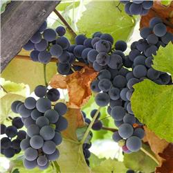 Concord Grape Vine - Vitis labrusca