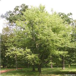 Silver Maple - Acer saccharinum