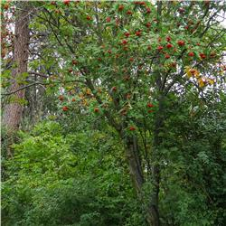 American Mountainash - Sorbus americana