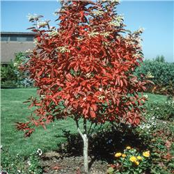 Sourwood - Oxydendrum arboreum