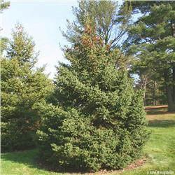 White Spruce evergreen