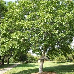 Carpathian English Walnut - Juglans regia
