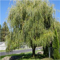Weeping Willow - Salix babylonica