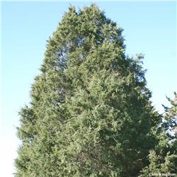 Eastern Redcedar evergreen