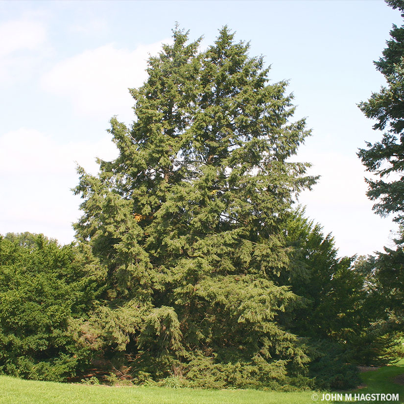 Canadian Hemlock evergreen