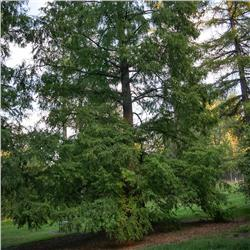 Dawn Redwood - Metasequoia glyptostroboides