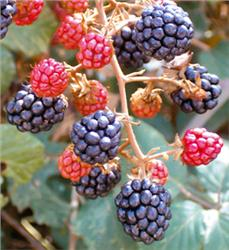 Arapaho Blackberry shrubs