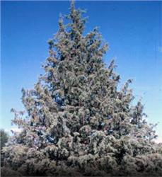 Arizona Cypress evergreen