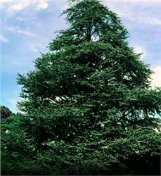 Atlas Cedar evergreen