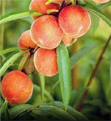 Belle of Georgia Peach - Prunus persica