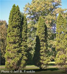 Emerald Arborvitae evergreen
