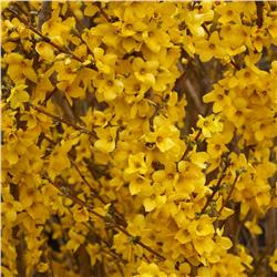 Show Off Forsythia