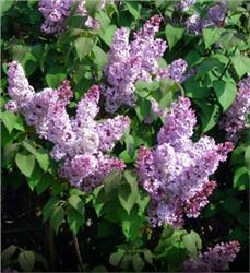 Fragrant Lilac bush - Syringa vulgaris