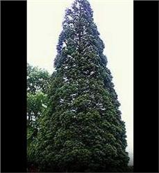 Giant Sequoia evergreen