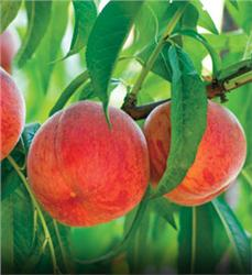 Golden Jubilee Peach - Prunus persica
