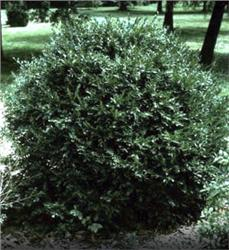 Korean Boxwood evergreen