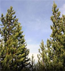 Lodgepole Pine evergreen