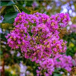 Southern Living Miss Sandra Crapemyrtle