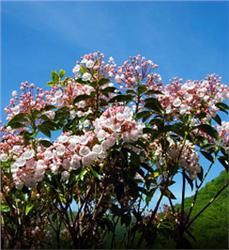 Mountain-Laurel bush - Kalmia latifolia