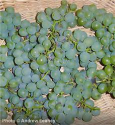 Niagara Grape Vine - Vitis 'Niagara'