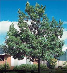 Northern Red Oak - Quercus rubra
