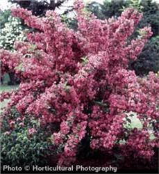 Old Fashioned Weigela shrub- Weigela florida