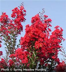 Red Rocket Crapemyrtle shrub - Lagerstroemia indica Whit IV pp#11342