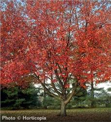 Red Sunset Maple - Acer rubrum