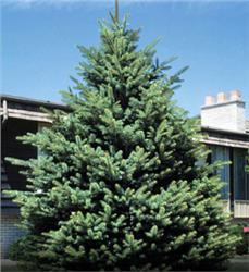 Spruce Mix Collection (12 trees) evergreen
