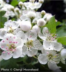Washington Hawthorn - Crataegus phaenopyrum