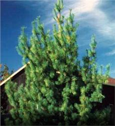 Screen - Windbreak Collection - Eastern (12 trees) evergreen