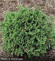 Woodward Globe Arborvitae evergreen