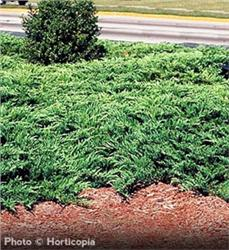 Youngstown Juniper evergreen