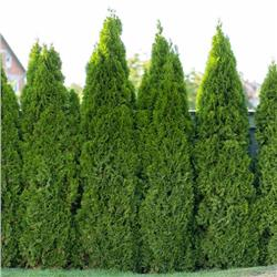 Full Speed A Hedge® 'American Pillar'