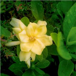 Golden Magic Jasmine Gardenia