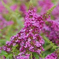 Ruby Chip Butterfly Bush