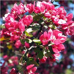 Summer Wonder Crabapple