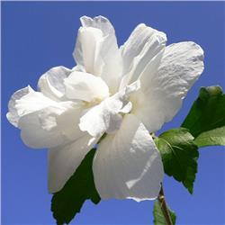 White Althea Rose-of-Sharon