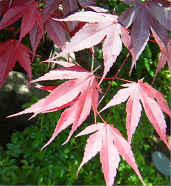 Japanese Red Maple - Acer palmatum var. atropurpureum