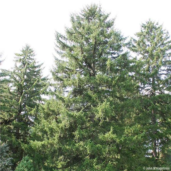 Norway Spruce for Windbreaks evergreen