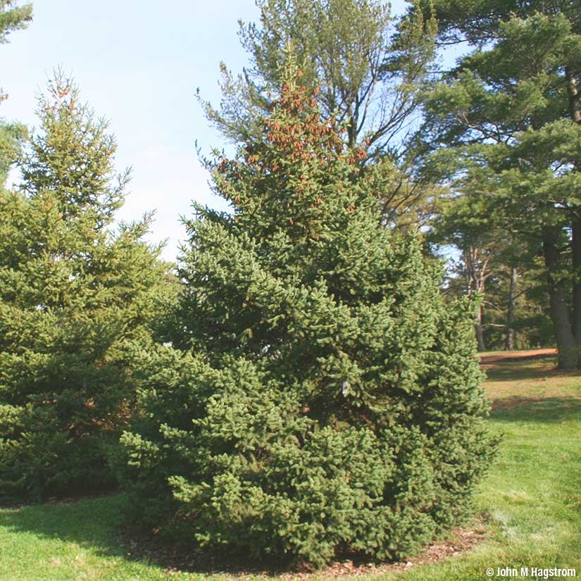 White Spruce for Windbreaks evergreen