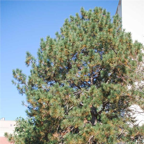 Austrian Pine evergreen