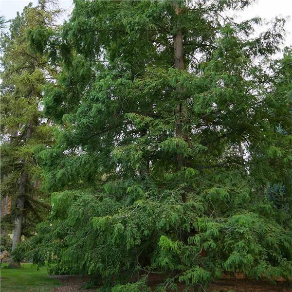 Dawn Redwood Metasequoia glyptostroboides